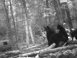 Pakwash Lake Bear Hunting 4