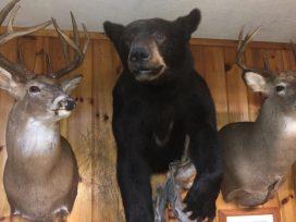 Deer And Black Bear Hunting Wall Mounted Trophies