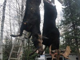 Moose Hung