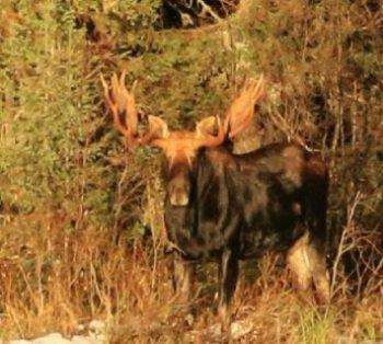 Nature Trails Moose Aspect Ratio 350 314